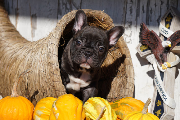 AKC Registered French Bulldog For Sale Millersburg, OH Male - Rocky