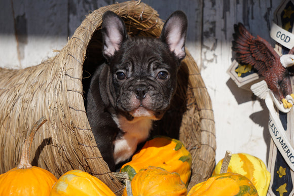 AKC Registered French Bulldog For Sale Millersburg, OH Male - Max