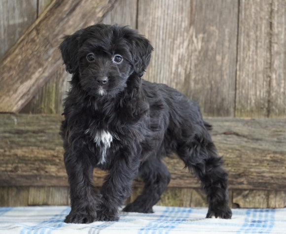 Mini Aussiedoodle For Sale Fredericksburg, OH Female- Nelly