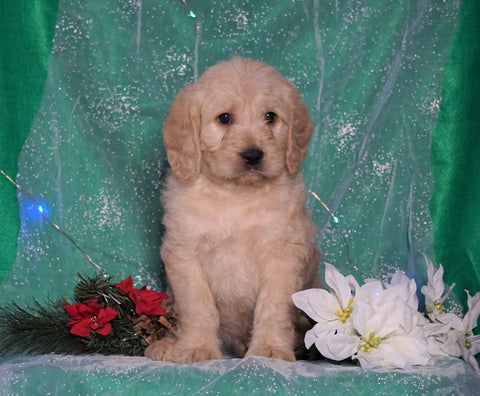 F1B Mini Labradoodle For Sale Millersburg, OH Male- Frisky