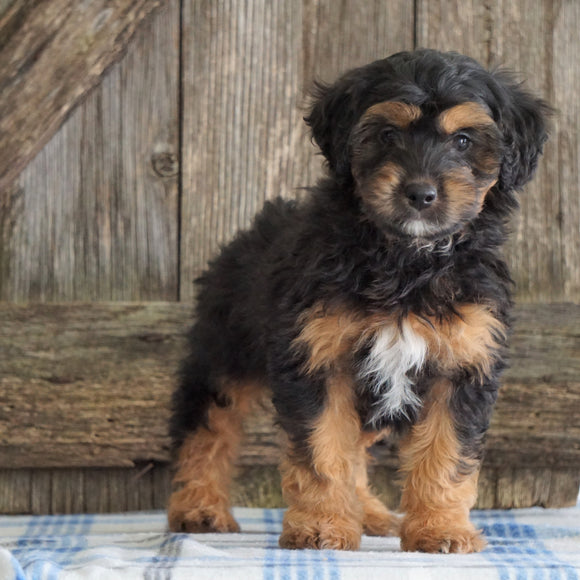 Mini Aussiedoodle For Sale Fredericksburg, OH Male- Ned