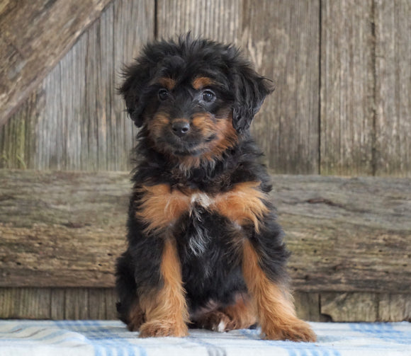 Mini Aussiedoodle For Sale Fredericksburg, OH Female- Neena