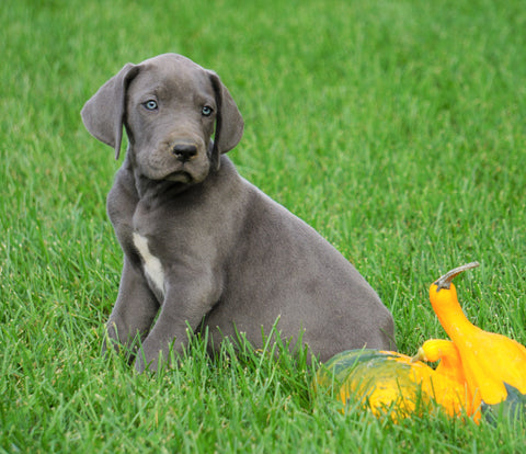 AKC Registered Great Dane For Sale Millersburg, OH Male - George