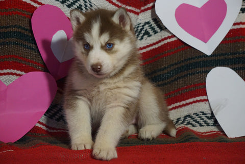 Siberian Husky For Sale Fredericksburg, OH Female- Eliza