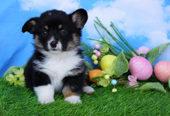 ACA Registered Welsh Corgi (Pembroke) For Sale Apple Creek, OH Female- Lulu