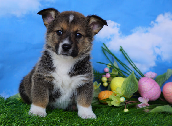 ACA Registered Welsh Corgi (Pembroke) For Sale Apple Creek, OH Male- Lucky