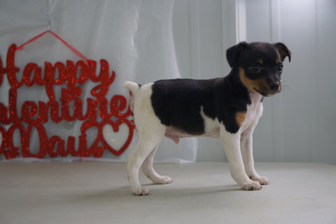 Toy Fox Terrier For Sale Millersburg, OH Male- Max