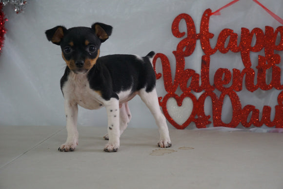 Toy Fox Terrier For Sale Millersburg, OH Male- Tanner