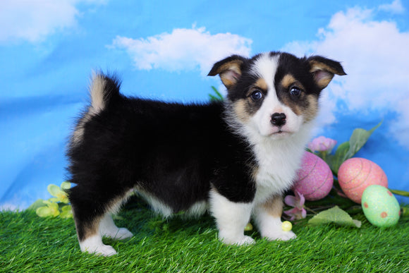 ACA Registered Welsh Corgi (Pembroke) For Sale Apple Creek, OH Female- Lilac