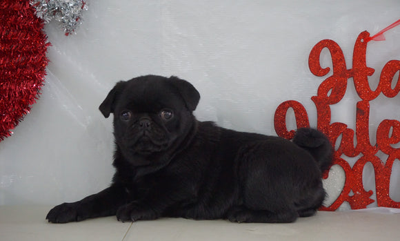 Pug Puppy For Sale Millersburg, OH Female- Brittany