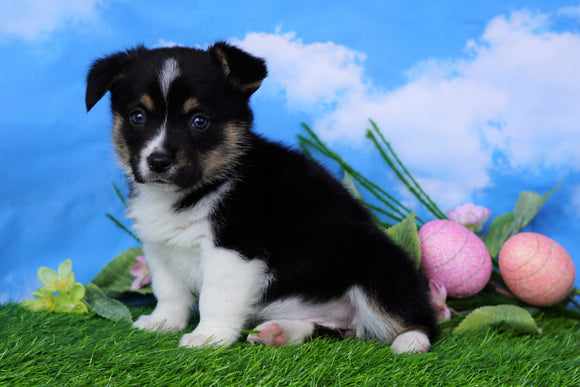 ACA Registered Welsh Corgi (Pembroke) For Sale Apple Creek, OH Female- Kesha