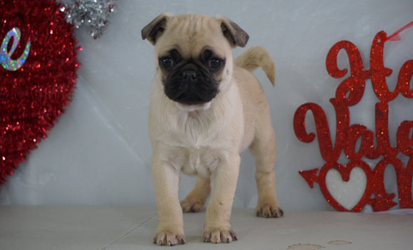 Pug Puppy For Sale Millersburg, OH Male- Rocky