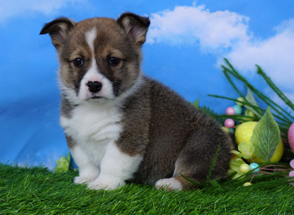 ACA Registered Welsh Corgi (Pembroke) For Sale Apple Creek, OH Male- Sparky