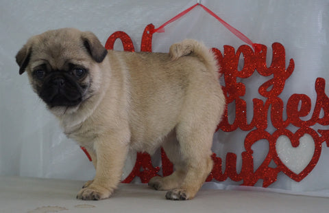 Pug Puppy For Sale Millersburg, OH Female- Jessica
