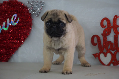 Pug Puppy For Sale Millersburg, OH Male- Max