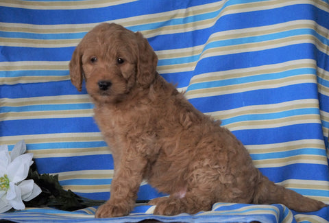 F1B Mini Labradoodle For Sale Millersburg, OH Male- Fritz