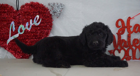 Labradoodle Puppy For Sale Millersburg, OH Male- Charley