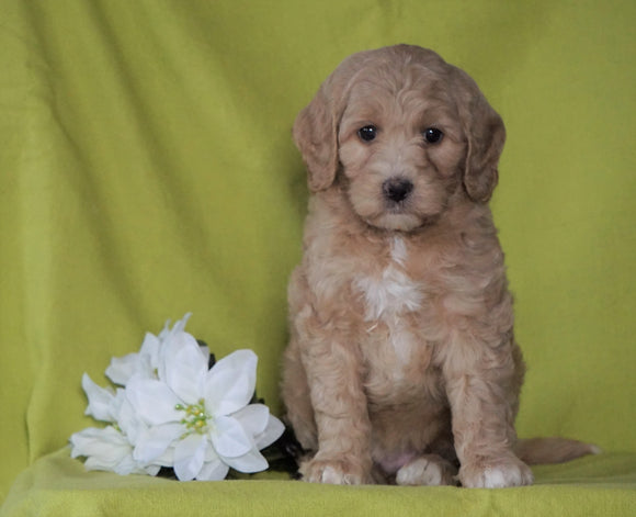 F1B Mini Labradoodle For Sale Millersburg, OH Female- Frosty