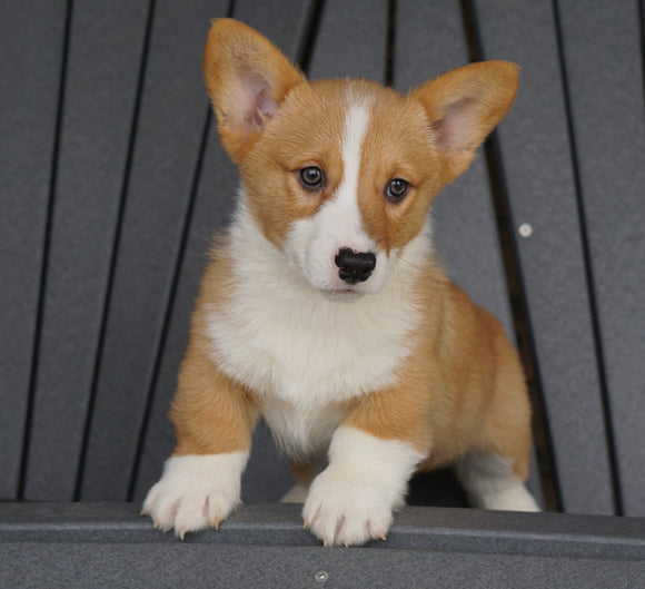 AKC Registered Pembroke Welsh Corgi For Sale Millersburg, OH Male - Russel
