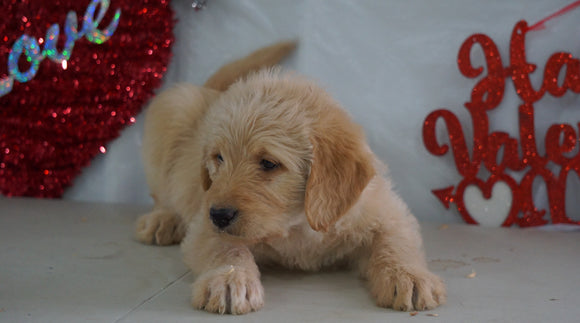Labradoodle Puppy For Sale Millersburg, OH Male- Rambo