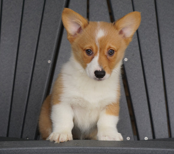 AKC Registered Pembroke Welsh Corgi For Sale Millersburg, OH Female - Foxy