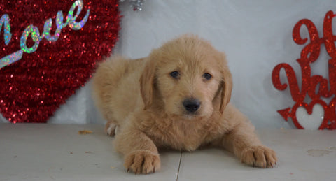 Labradoodle Puppy For Sale Millersburg, OH Male- Sailor
