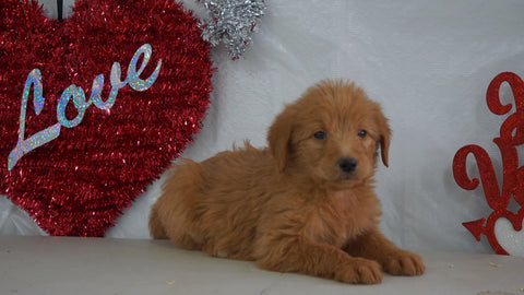 Labradoodle Puppy For Sale Millersburg, OH Female- Amber