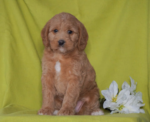 F1B Mini Labradoodle For Sale Millersburg, OH Female- Fluffy