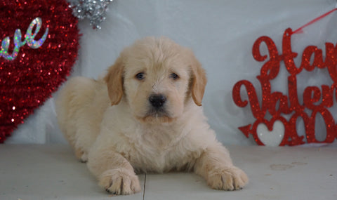 Labradoodle For Sale Millersburg, OH Male- Willy