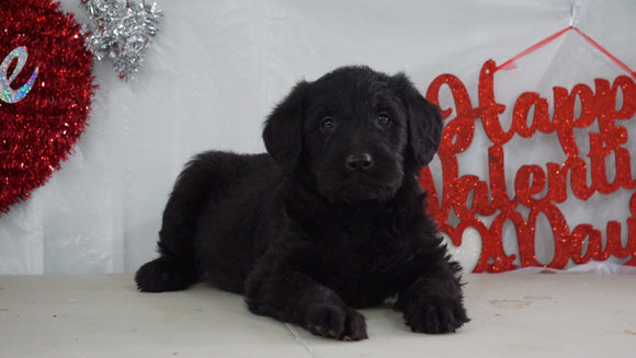Labradoodle Puppy For Sale Millersburg, OH Female- Mindy