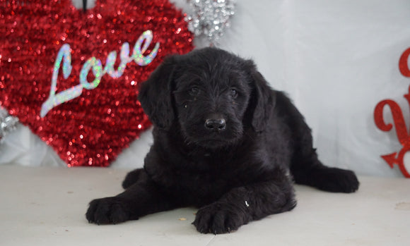 Labradoodle For Sale Millersburg, OH Male- Nate