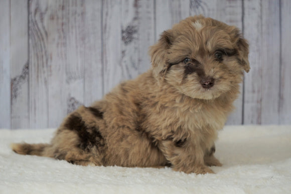 F1B Mini Labradoodle For Sale Millersburg, OH Female- Fancy