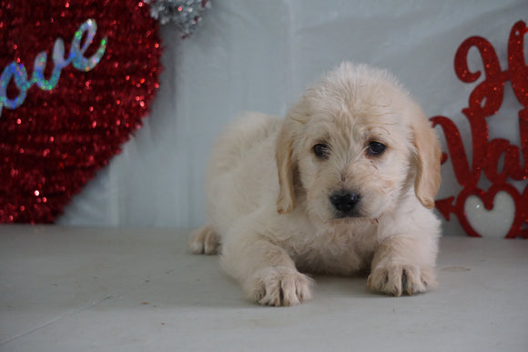 Labradoodle For Sale Millersburg, OH Female- Teddy