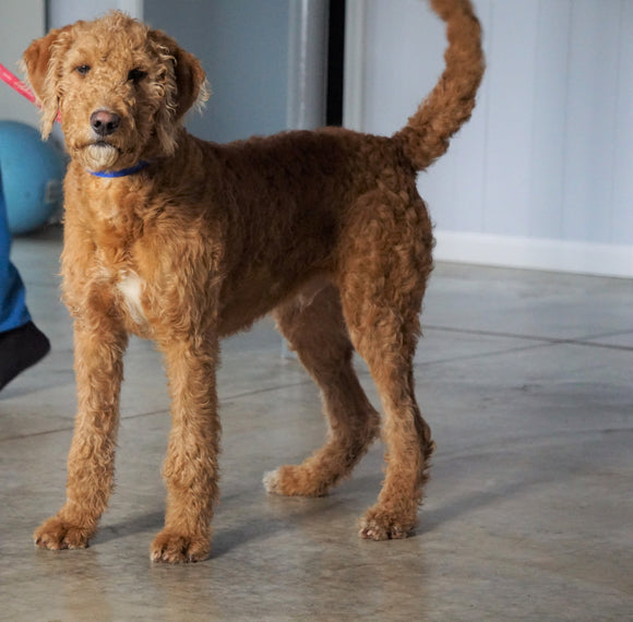 F1B Labradoodle For Sale Millersburg, OH Male- Thunder