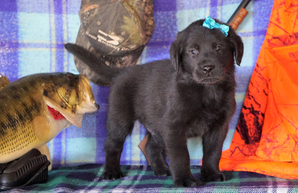 Labrador/Golden Retriever For Sale Sugarcreek, OH Male - Mo