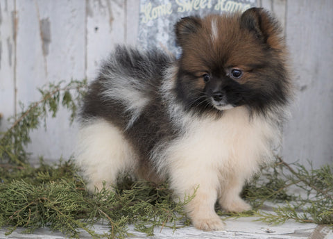 ACA Registered Pomeranian For Sale Millersburg, OH Male - Captain