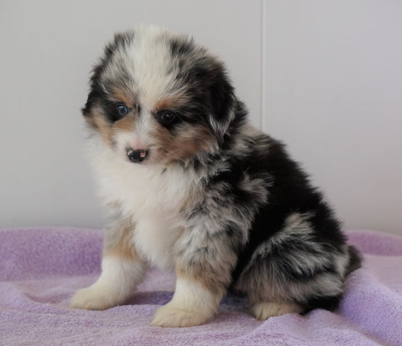 Mini Australian Shepherd For Sale Loudenville, OH Male - Dallas