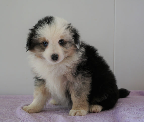 Mini Australian Shepherd For Sale Loudenville, OH Male - Brady