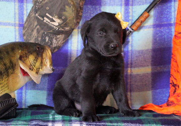 Labrador/Golden Retriever For Sale Sugarcreek, OH Male - Arnie