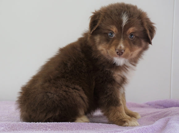 Mini Australian Shepherd For Sale Loudenville, OH Male - Jack
