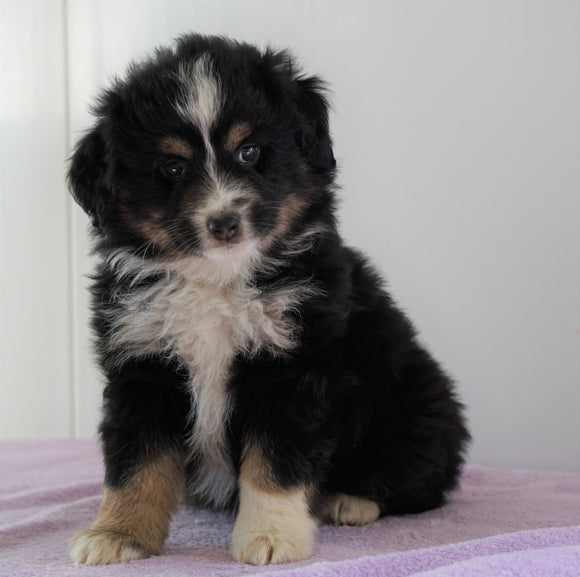 Mini Australian Shepherd For Sale Loudenville, OH Male - Royal