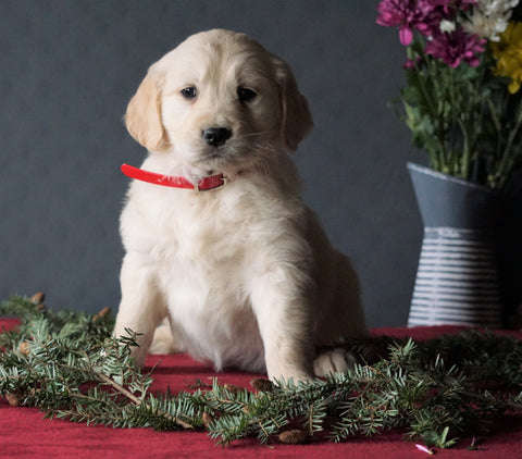 AKC Registered Golden Retrievers For Sale Shreve, OH Female - Dixie