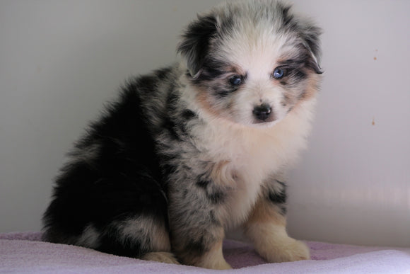 Mini Australian Shepherd For Sale Loudenville, OH Female - Alley