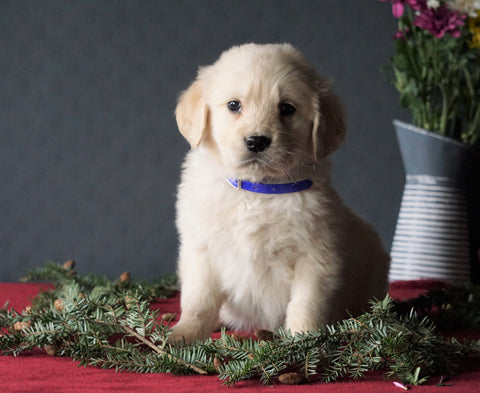 AKC Registered Golden Retrievers For Sale Shreve, OH Male - Tommy