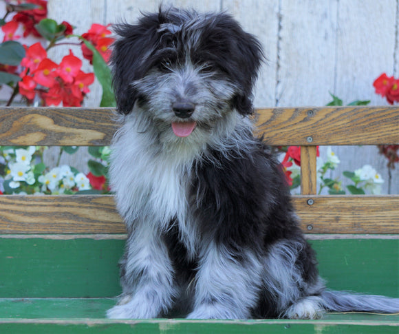 Mini Aussiedoodle For Sale Millersburg, OH Male- Brody