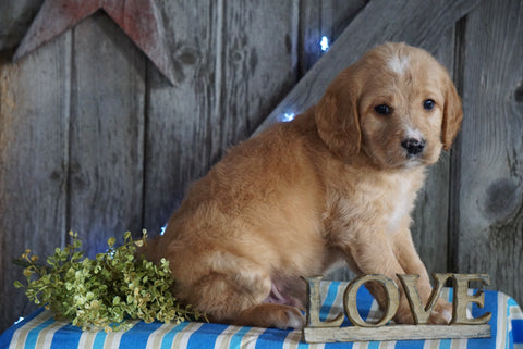 Mini F1B Labradoodle For Sale Millersburg, OH Male- Davy
