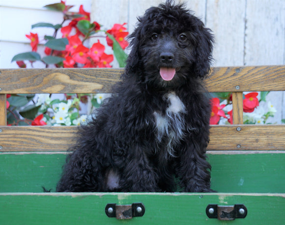 Mini Aussiedoodle For Sale Millersburg, OH Male- Ian