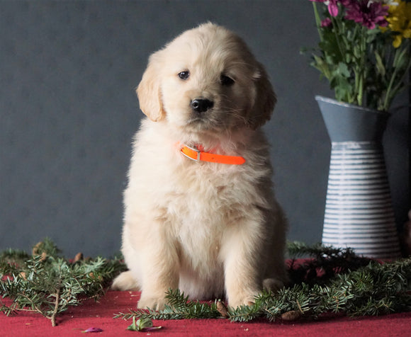 AKC Registered Golden Retrievers For Sale Shreve, OH Female - Kylie