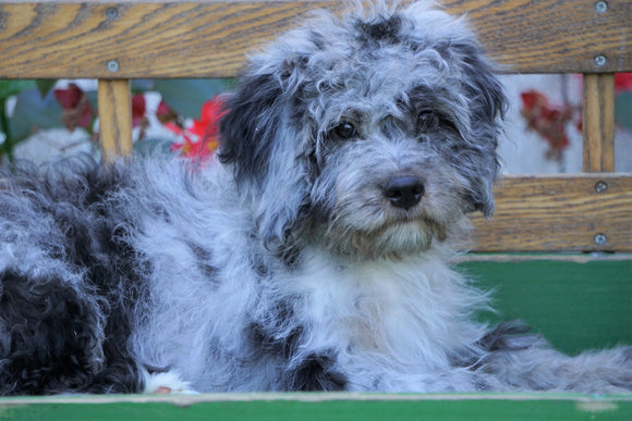 Mini Aussiedoodle For Sale Millersburg, OH Male- Elvis