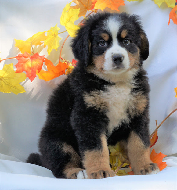 AKC Registered Bernese Mountain Dog For Sale Millersburg, OH Male- Cody